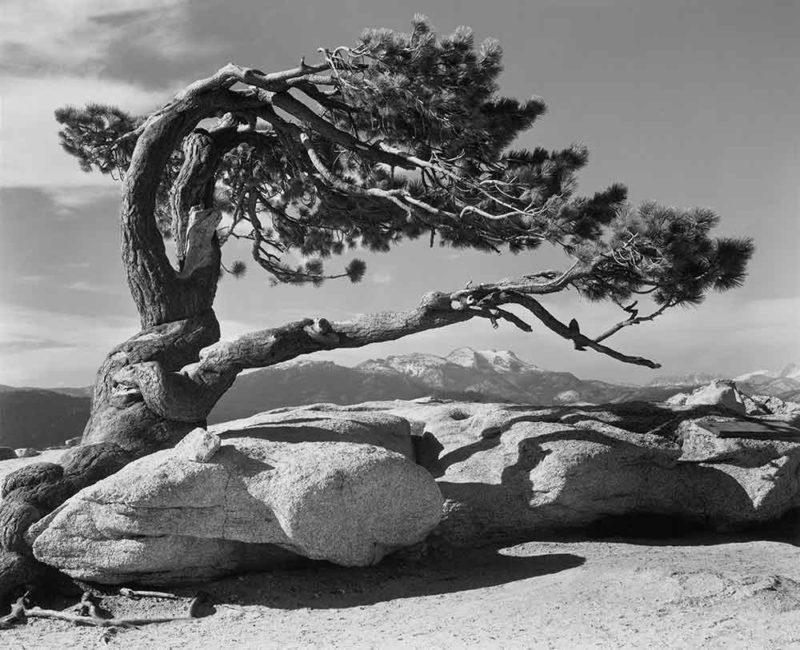 Ansel-Adams-Jeffrey-Pine-Sentinel-Dome-Yosemite-National-Park-California-1945